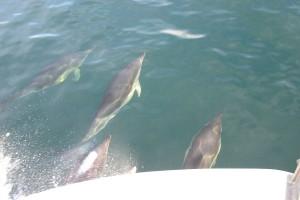 Plockton_Dolphins